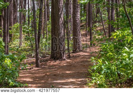 Hiking Through The Mature Woodlands With Tall Pine Trees And Needles Covering The Trails On A Sunny