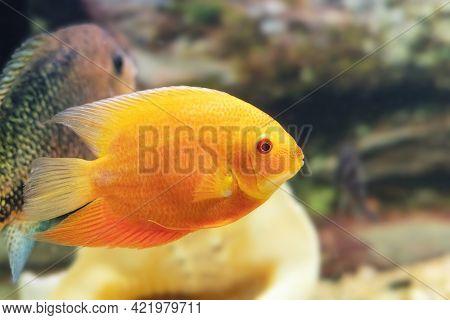 The Orange Ornamental Fish Heros Severus Cichlasoma Severum Swims In The Aquarium.