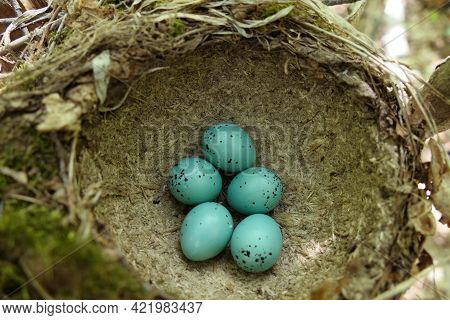 Songbird Nest With Turquoise Eggs. Bird Eggs In A Nest In Their Natural Habitat.