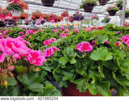 Bright Pink Blooming Geraniums Plants In Greenhouse