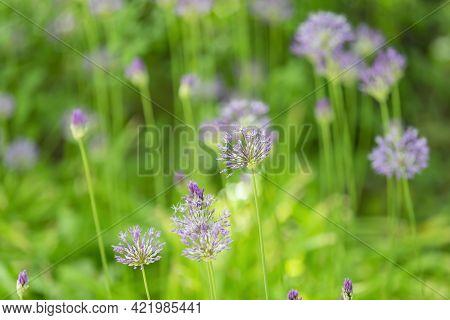 Perennial Bulbous Herb Allium Wallichii During Flowering
