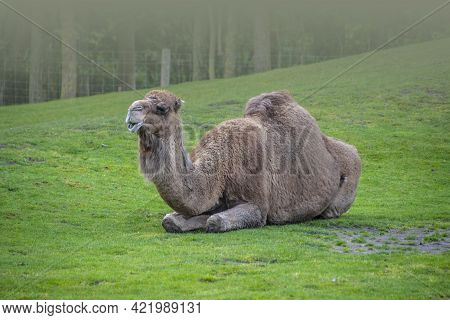 Bactrian Camel Sitting In The Grass, Camelus Bactrianus Is A Large, Even-toed Ungulate Native To The