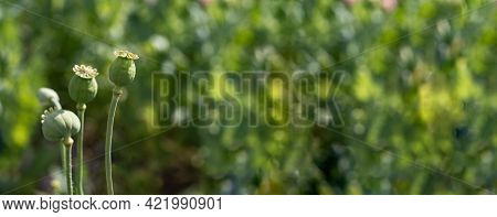 Panorama Photo Of Nature Pink Bud Flower Poppy. Background Blooming Poppy Flowers With A Closed Bud.