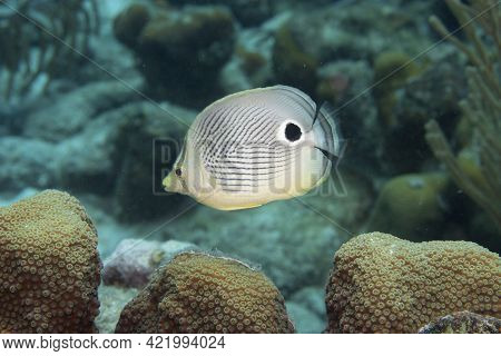 Foureye Butterflyfish On Coral Reef Off The Tropical Island Of Bonaire In The Caribbean Netherlands.