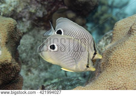 Pair Of Foureye Butterflyfish On Coral Reef Off The Tropical Island Of Bonaire In The Caribbean Neth