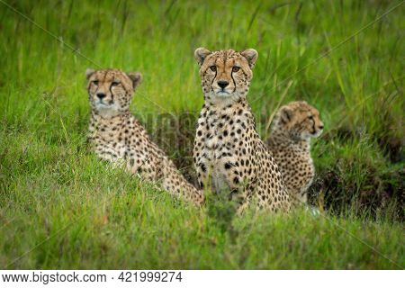 Coalition Of Cheetah Sits In Grassy Gully