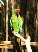 A military Macaw sitting on his perch in the Florida sunshine. poster