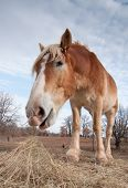 Wide angle image of a Belgian draft horse eating hay in pasture in winter poster