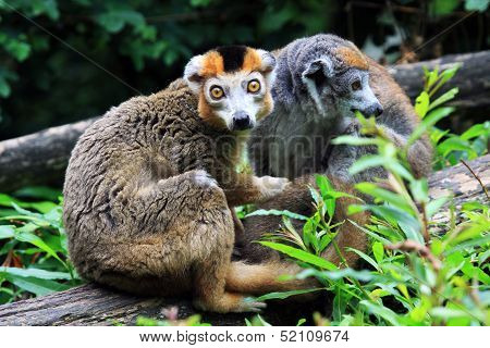 The crown lemur