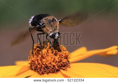 Bumble bee insect pollinating flower poster
