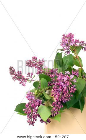 Lilacs On White