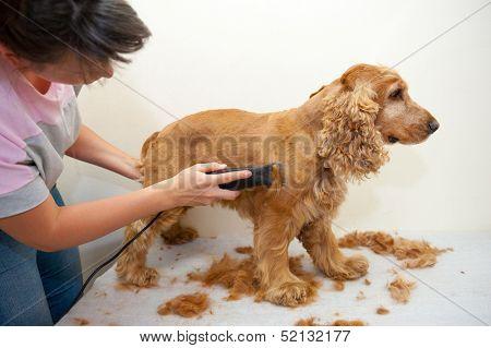 Female groomer haircut Cocker Spaniel poster