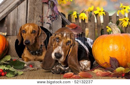 dog dachshund  and basset hound