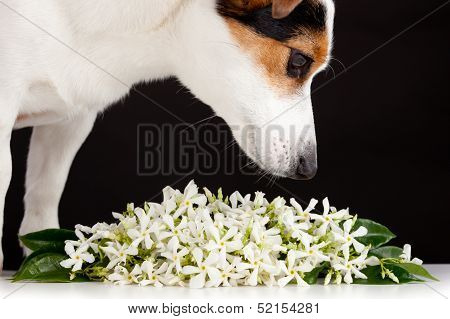 Jack Russell smells like jasmine flowers on black background poster