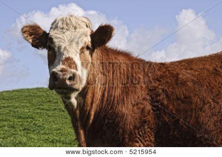 Cows In Field Again