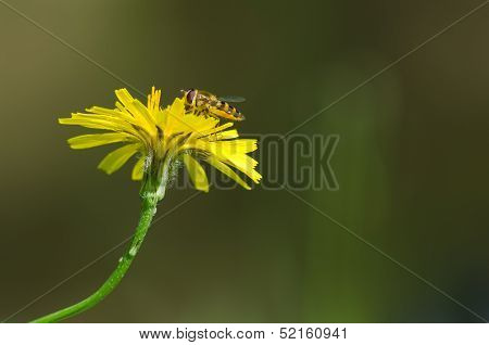 Hover Fly On Yellow Flower