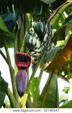 Banana Ripening