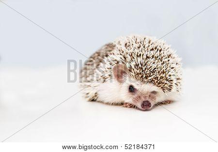 Hedgehog On White Studio Background Squeezes Eye