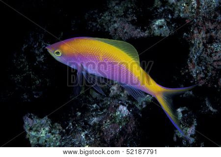 A rare Bartlett's Anthias, Pseudanthias bartlettorum taken at night on a coral reef in the Kwajalein Atoll in the Pacific