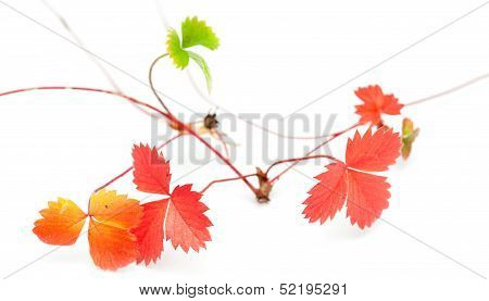 wild strawberry seekers autumnal isolated on white poster