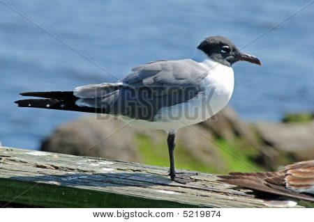poster of A sea gull waits on a dock looking for food.