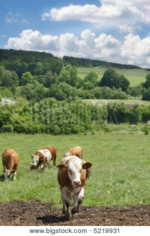Herd of dairy cows in a rural setting with lovely green grass and blue sky. poster