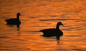 a pair of silhouetted canadian geese swimming on a sun lit lake. poster
