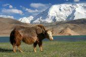 Big yak on the shore of Kara Kul lake in Karakorum China poster