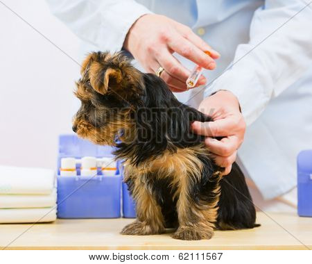 Veterinary treatment - vaccinating the Yorkshire puppy poster