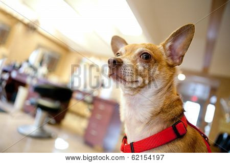 poster of Chihuahua dog seated inside a beauty salon. Great concept for dog grooming. Shallow depth of field.