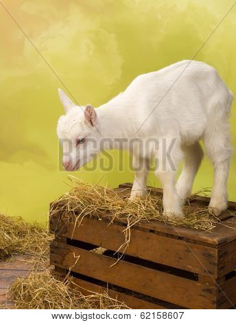 Cute baby milk goat standing on a vintage wooden crate