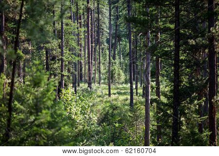 Dense Piney Woods