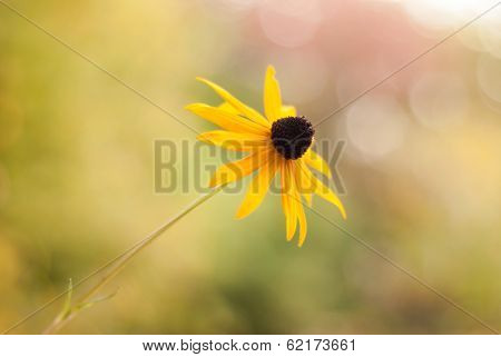 Black-eyed Susan Soft And Shallow - Side View