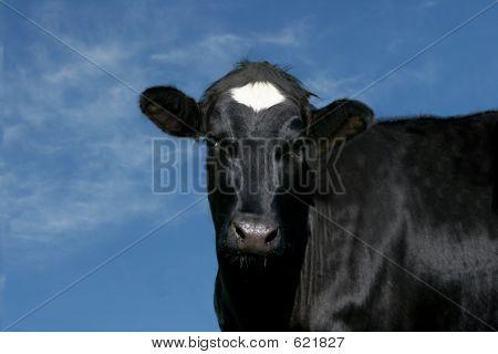 Cute Cow