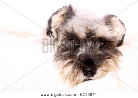 An adorable Miniature Schnauzer lying on a white bed with a white background looking at the camera. poster