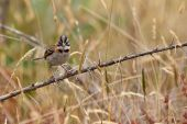 Rufous-collared sparrow bird sitting on a branch near the ground poster