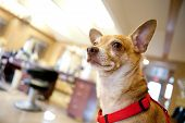 Chihuahua dog seated inside a beauty salon. Great concept for dog grooming. Shallow depth of field. poster