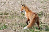 Red Fox Vulpes vulpes is hunting in an abandoned meadow poster