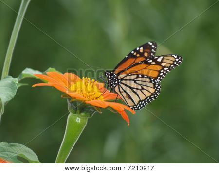 Monarch Butterfly on a Mexican Sunflower