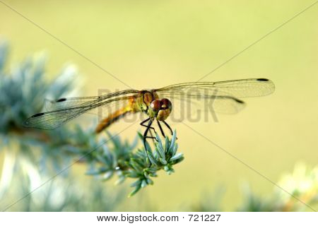 dragon fly eat silver cedar poster