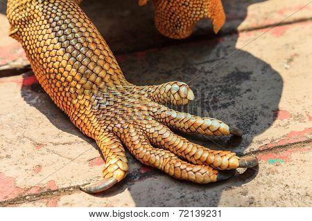 Iguana Claw