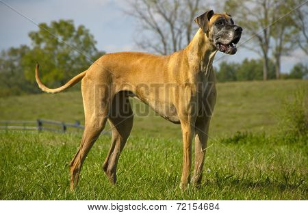 Great Dane standing in field looking right