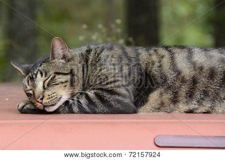 Cat Sleeping on a Truck Top in Missouri