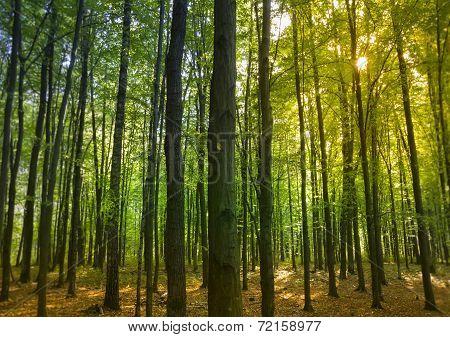 Sunset In Alder Forest