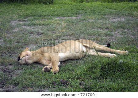 Lioness, Selous National Park, Tanzania