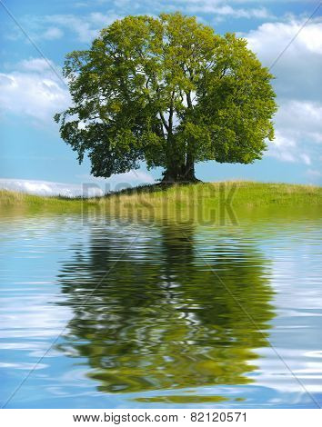 single big old linden tree