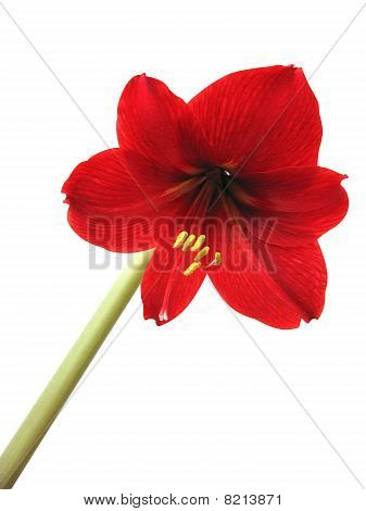 Flower Hippeastrum