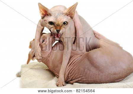 Two Bald Cats
