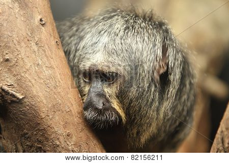 White Faced Saki Monkey Pithecia Pithecia