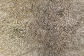 A closeup of the fur of an Australian brushtail possum (Trichosurus vulpecula) poster